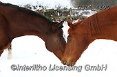 Bob, ANIMALS, REALISTISCHE TIERE, ANIMALES REALISTICOS, horses, photos+++++,GBLA4190,#a#, EVERYDAY