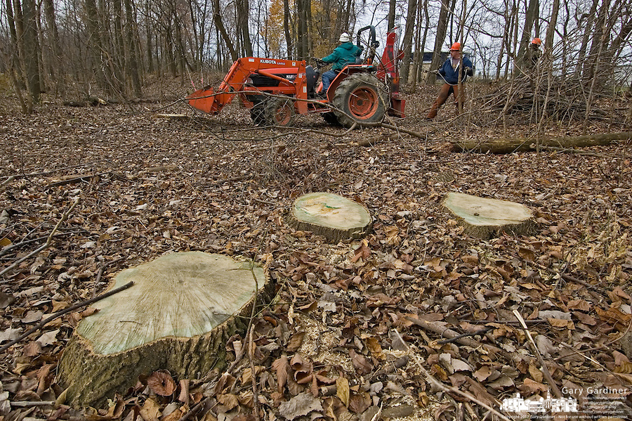Ash tree stumps are all that remain from trees removed from  a forest near Toledo, Ohio, where the ash borer beetle was found. The trees are being destroyed by the ash borer beetle, an invasive species of beetle  thought to have brought into the country from China in wooden pallets used to carry imported goods. The beetle kills the trees by boring under the bark. ..<br />