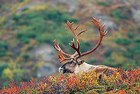 Bull Caribou rests on the colorful autumn tundra, Denali National Park, Alaska