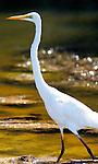 Great Egret. Andrea alba