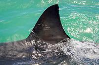 great white shark, Carcharodon carcharias, dorsal fin, False Bay, South Africa, Atlantic Ocean