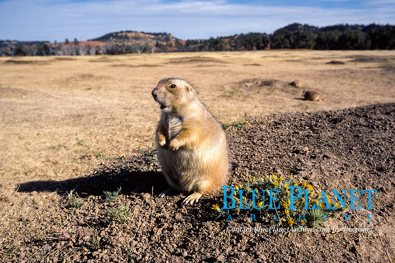black-tailed prairie dog, Cynomys ludovicianus, resting by wildflowers, North America
