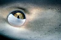Caribbean reef shark, Carcharhinus perezi, eye, showing nictitating membrane, Bahamas, Atlantic Ocean