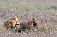 A female Lion, Panthera leo  melanochaita, carries the remains of a Thomson's Gazelle, Eudorcus thomsonii, in Ngorongoro Crater, Ngorongoro Conservation Area, Tanzania