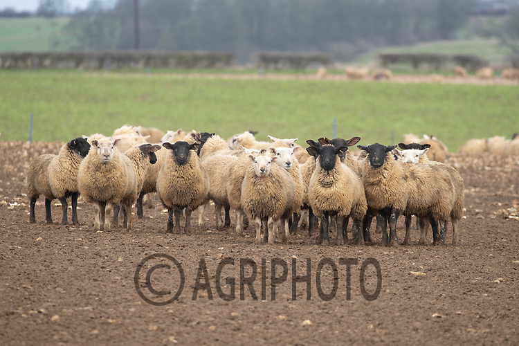 16-2-2021 Store lambs on fodder turnips <br /> ©Tim Scrivener Photographer 07850 303986<br />      ....Covering Agriculture In The UK....