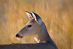 Whitetail doe portrait