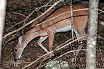 White-tailed deer doe licks algae and moisture from a rock on the forest floor facing left.