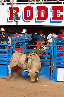Bull Riding competition in Tucson, Arizona.   For Editorial use only / Permission from Pro Rodeo Cowboy's Association REQUIRED for any commercial usage.