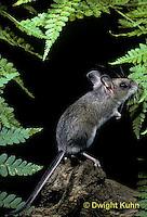 MU14-077z  Deer Mouse - young, immature - Peromyscus maniculatus
