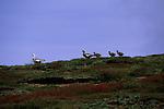 Upland Goose (Chloephaga picta) Carcass Island