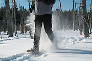 A person snowshoeing in a New England forest. Strong winds cause the snow to blow around. Located in New Hampshire USA