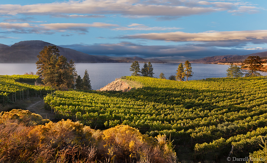 Fine Art Landscape Photograph. Vineyards in the Okanagan valley British Columbia, Canada. Rows of vineyards overlooking the mountains and Lake Okanagan in Naramata.
