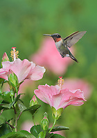 Ruby-throated Hummingbird (Archilochus colubris), male in flight feeding on Hibiscus flower, Hill Country, Texas, USA