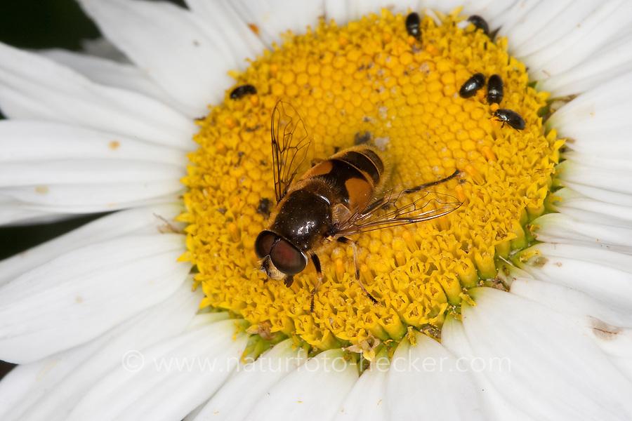 Keilfleck-Schwebfliege, Garten-Keilfleckschwebfliege, Keilfleckschwebfliege, Helle Bienen-Schwebfliege, Helle Bienenschwebfliege, Männchen beim Blütenbesuch, Nektarsuche, Bestäubung, Eristalis horticola, Eristalis lineata, Eoseristalis lineata, drone fly