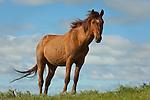 A Gila herd stallion looks over the South Dakota landscape
