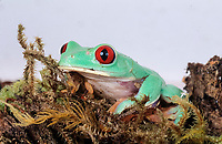 red-eye tree frog, Agalychnis callidryas, family: Hylidae, (c), red-eyed