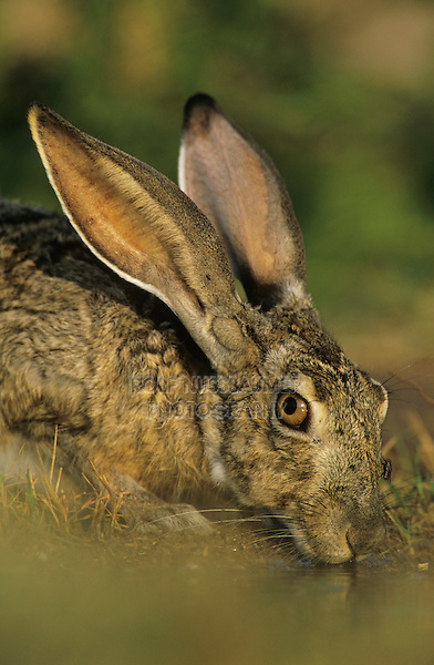 Black-tailed Jackrabbit, Lepus californicus, adult drinking, Starr County, Rio Grande Valley, Texas, USA