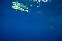 oceanic whitetip shark, Carcharhinus longimanus, pursuing common dolphinfish, dorado, or mahi-mahi, Coryphaena hippurus, hooked, on a line, Cat Island, Bahamas, Caribbean Sea, Atlantic Ocean