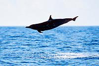 pantropical spotted dolphin, Stenella attenuata, trailing monofilament fishing line, possibly from tuna fishermen, Kona, Big Island, Hawaii, USA, Pacific Ocean