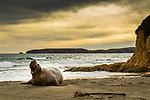 Northern Elephant Seal (Mirounga angustirostris) male in dominance display on beach, Point Reyes National Seashore, California