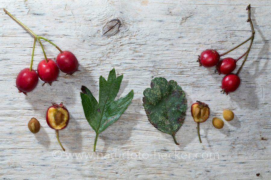 Vergleich Eingriffliger (links) und Zweigriffliger (rechts) Weißdorn, Blatt, Blätter, leaf, leaves, Frucht, Früchte, Beeren, Samen, berry, berries, seed, Samenkern. Eingriffliger Weißdorn, Eingriffeliger Weißdorn, Weissdorn, Weiß-Dorn, Weiss-Dorn, Hagedorn, Crataegus monogyna, hawthorn, common hawthorn, oneseed hawthorn, single-seeded hawthorn, English Hawthorn, May, fruit, L'Aubépine monogyne, L'Aubépine à un style. Zweigriffliger Weißdorn, Zweigriffeliger Weißdorn, Crataegus laevigata, Crataegus oxyacantha, midland hawthorn, English hawthorn, woodland hawthorn, hawthorn, mayflower, May, L'Aubépine lisse, Aubépine à deux styles, Aubépine épineuse