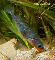 1S22-578z  Male Threespine Stickleback shaping nest by pushing plant materials with it mouth, mating colors showing bright red belly and blue eyes,  Gasterosteus aculeatus,  Hotel Lake British Columbia