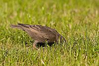 Star, Jungvogel stochert im Rasen nach Nahrung, Sturnus vulgaris, Starling, Étourneau sansonnet