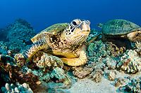 Green sea turtle, Chelonia mydas, an endangered species. Maui, Hawaii, USA, Pacific Ocean