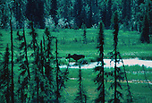 Bull moose, Alces alces, at Denali National Park, Alaska.