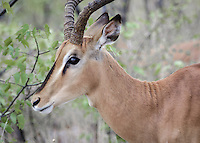 A type of antelope that can be seen everywhere in Namibia.