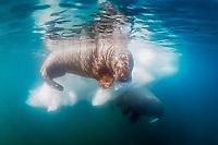 Atlantic walrus, Odobenus rosmarus rosmarus, resting on iceberg, Lagoya, Svalbard, Norway, Atlantic Ocean