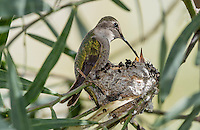 Female Costa's Hummingbird (Calypte costae) feeding young chicks at nest.  Southern California.  February.
