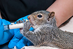 5 week old Eastern gray squirrel is fed special baby formula from a syringe, but the juvenile sucks-out his/her food by grabbing onto an attached nipple and going to town at the Birdsey Cape Wildlife Cente in Barstable, Cape Cod, Massachusetts.