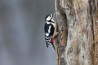 Buntspecht, Männchen bei der Nahrungssuche an einem Baumstamm, Baumhöhle, Bunt-Specht, Specht, Spechte, Dendrocopos major, Picoides major, Great spotted woodpecker, male, Pic épeiche