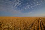 Wheat fields in eastern, Colorado