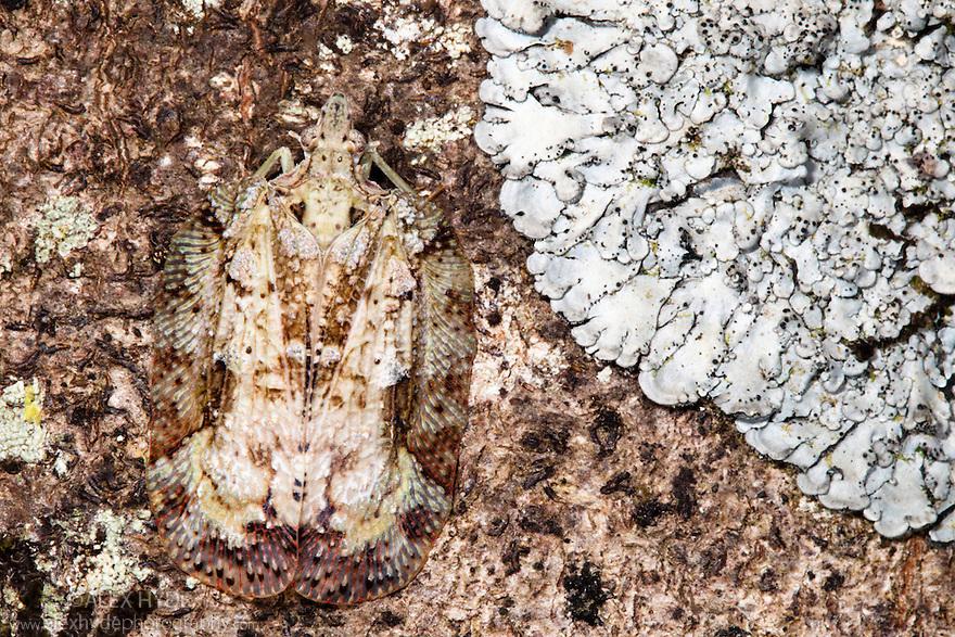 Flatid bug {family: Flatidae} camouflaged on tree bark. Lowland rainforest, Masoala Peninsula National Park, north east Madagascar.