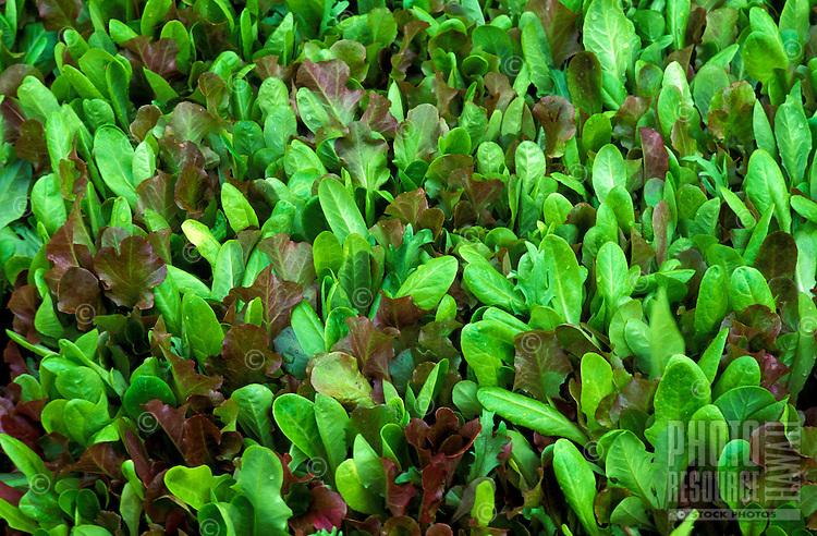 Oak leaf lettuce grown on Nalo Farms, Waimanalo