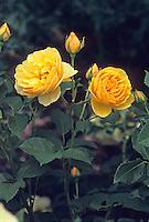 English Rose 'Graham Thomas' (shrub)