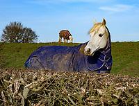 Two horses wearing coats in a field, Hanbury, Tutbury, Burton on Trent, Staffordshire.