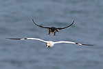 INCOMING! Peregrine lands on a gannet in mid flight in UK by Robin Chittenden