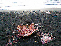 poacher, killed leatherback sea turtle, Dermochelys coriacea, Dominica, Caribbean, Atlantic