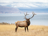 A bull elk stands up from an afternoon nap near the shores of Yellowstone Lake.
