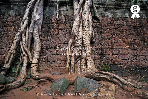 Strangler fig (Ficus sp.) tree roots on wall (Licence this image exclusively with Getty: http://www.gettyimages.com/detail/83154242 )