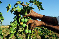 India Bhavnagar , experimental farm with Jatropha ( Purging Nut or Jatropha curcas Linnaeus ) oil plant for production of bio diesel , project of Salt and Marine chemicals research Institut in Bhavnagar and Daimler AG , ADM and Bayer Cropscience