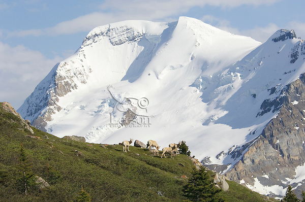 """Bighorn Sheep or Mountain Sheep (Ovis canadensis) ewes with young lambs on """"lambing grounds"""" high in the Northern Rockies. Early June."""