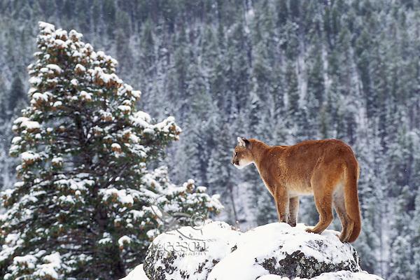 Mountain lion, cougar, or puma (Felis concolor), winter, Western U.S.
