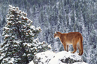 Mountain lion, cougar, or puma (Felis concolor), winter, Western U.S.