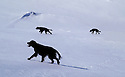 Hunting dogs searching the winter mountain after grousse