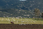 Huge flock of Sulphur-crested Cockatoo eating / digging peanuts from the newly ploughed fields with a cow in the field. The Sulphur-crested Cockatoo (Cacatua galerita) is a relatively large white cockatoo found in wooded habitats in Australia and New Guinea and some of the islands of Indonesia. They can be locally very numerous, leading to them sometimes being considered pests. Some of the cockatoos are brownish with their white feathers falling off. Many of the things parrots love – like nuts, peanuts and oil seeds are not healthy when too much is consumed.