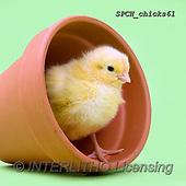 Xavier, EASTER, OSTERN, PASCUA, photos+++++,SPCHCHICKS61,#e#, EVERYDAY ,chicken